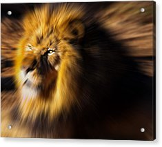 Lion The King Is Comming Acrylic Print
