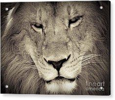 Lion Acrylic Print by Tonya Laker