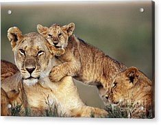 Lion With Cubs Acrylic Print by Michel & Christine Denis-Huot