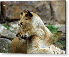 Lioness Acrylic Print by Inspirational Photo Creations Audrey Woods