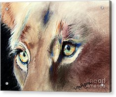 Lioness Eyes Acrylic Print