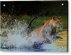 Lioness In Motion Acrylic Print