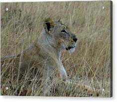 Lioness In The Grass Acrylic Print