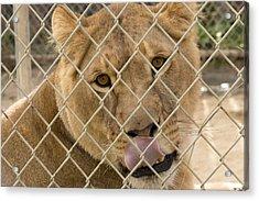 Lioness Licks Acrylic Print