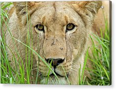 Acrylic Print featuring the photograph Lioness by Riana Van Staden