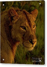Lioness-signed-#6947 Acrylic Print by J L Woody Wooden