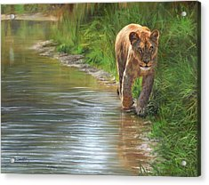 Lioness. Water's Edge Acrylic Print