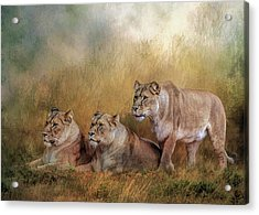 Lionesses Watching The Herd Acrylic Print