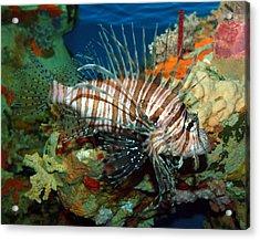 Lionfish Acrylic Print by Kathleen Stephens