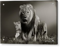 Acrylic Print featuring the photograph Lions On Their Way by Christine Sponchia
