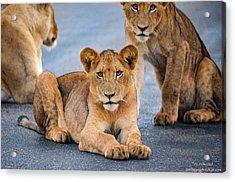 Lions Stare Acrylic Print