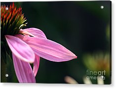 Lips On A Purple Coneflower Acrylic Print by Steve Augustin