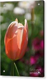 Lit Tulip 01 Acrylic Print by Andrea Jean
