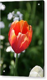 Lit Tulip 02 Acrylic Print by Andrea Jean