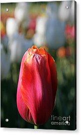 Lit Tulip 03 Acrylic Print by Andrea Jean