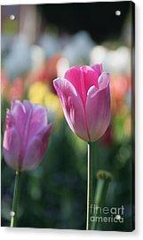 Lit Tulip 05 Acrylic Print
