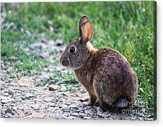 Litlle Brown Bunny 2 Acrylic Print