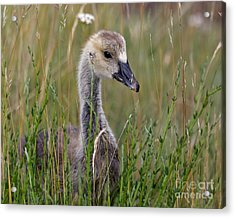 Little Baby Delight Acrylic Print