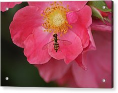 Little Bee Acrylic Print by Heather Green