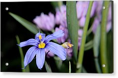 Acrylic Print featuring the photograph Little Blue Flower by Karen Musick