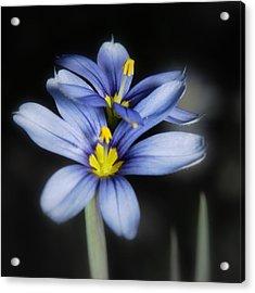 Acrylic Print featuring the photograph Little Blue Flowers by Karen Musick