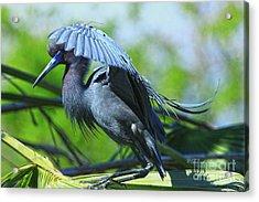 Acrylic Print featuring the photograph Little Blue Heron Alligator Farm by Deborah Benoit