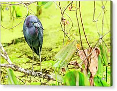 Little Blue Heron At Ollie's Pond Acrylic Print