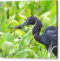 Little Blue Heron Catches A Frog Acrylic Print by Barbara Bowen