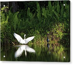 Little Blue Heron Non-impressed Acrylic Print
