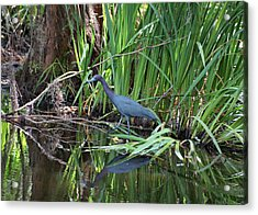 Acrylic Print featuring the photograph Little Blue Heron by Sandy Keeton