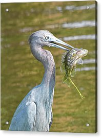 Little Blue Shows Me Its Catch Acrylic Print