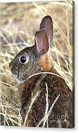 Little Brown Bunny Closer Acrylic Print
