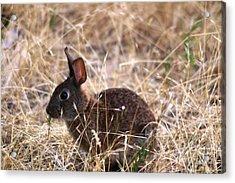 Little Brown Bunny Acrylic Print