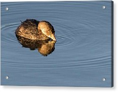 Little Brown Duck Acrylic Print