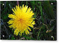 Acrylic Print featuring the photograph Little Burst Of Sunshine by Marilynne Bull