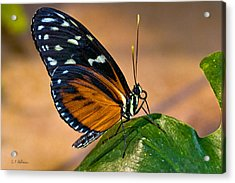 Little Butterfly Acrylic Print by Christopher Holmes