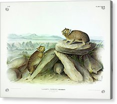 Little-chief Hare Acrylic Print