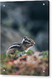 Little Chipmunk Acrylic Print