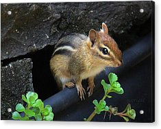 Little Chipmunk  Acrylic Print by Yvonne Wright