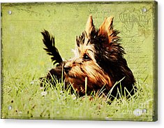 Little Dog Acrylic Print by Angela Doelling AD DESIGN Photo and PhotoArt