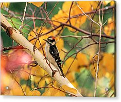 Little Downy In Autumn Acrylic Print by Donna Kennedy