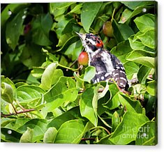 Acrylic Print featuring the photograph Little Downy Woodpecker  by Ricky L Jones