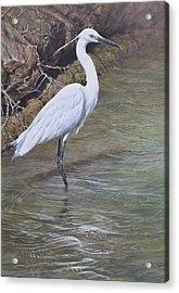 Little Egret Acrylic Print