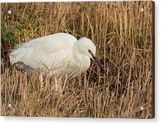 Little Egret Concentrating Acrylic Print