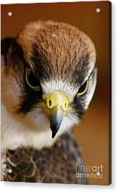 Acrylic Print featuring the photograph Little Falcon by Louise Fahy