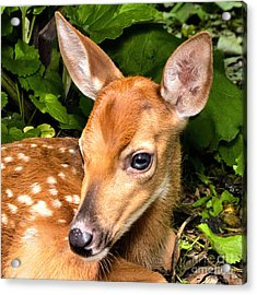 Little Fawn Acrylic Print