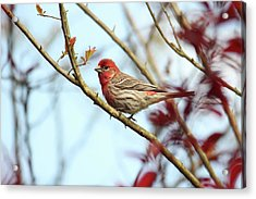 Little Finch Acrylic Print