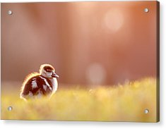 Little Furry Animal - Gosling In Warm Light Acrylic Print by Roeselien Raimond