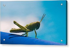 Little Grasshopper Acrylic Print by Christopher Holmes