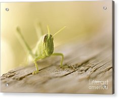 Little Grasshopper Acrylic Print by Claudia Ellis